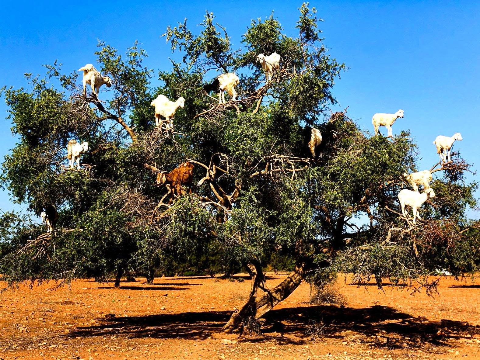 Name:  so-you-thought-goats-couldnt-climb-trees-heres-the-tree-climbing-goats-of-morocco-theflyingtorto.jpg Views: 174 Size:  720.4 KB